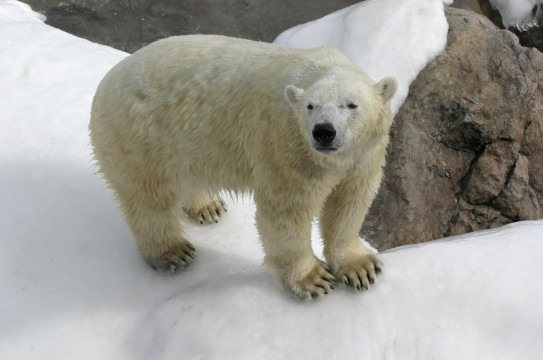 Polar-Bear-Snow-Nature-Winter